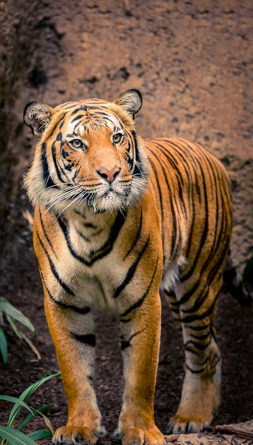 Tiger Stripes by Clifford Swall - Animals Lions, Tigers & Big Cats ( cats, san diego zoo, cat, big cats, zoo, tiger, black and orange, stripes )