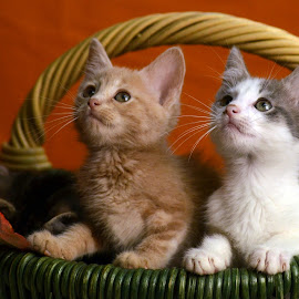 Basket Full of Love by Dan Justes - Animals - Cats Kittens ( cat, basket, kittens )