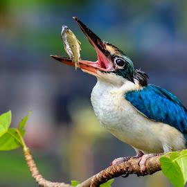 Collared Kingfisher by MazLoy Husada - Animals Birds