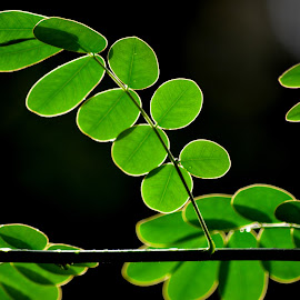 Backlit Leaves by Tim Laborde - Nature Up Close Leaves & Grasses ( backlit, green, green leaves, backlighting, leaves )