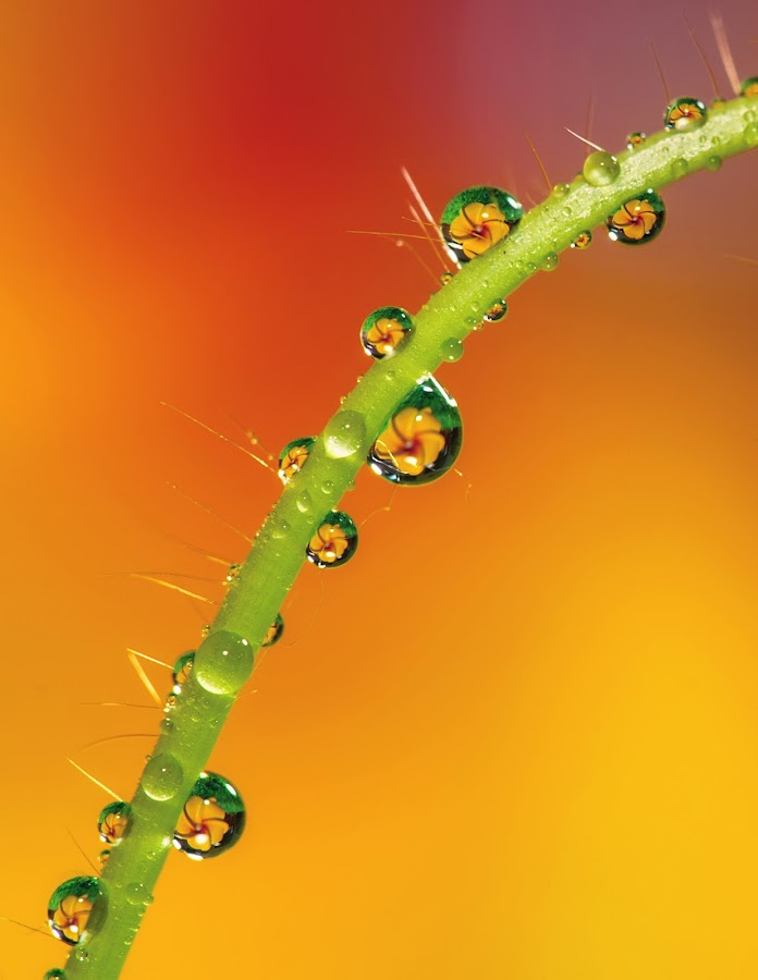 Dews by Irwan Kairuman - Nature Up Close Flowers - 2011-2013 ( water, dews, dew, embun, flower )