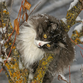 Snowy Climb by Twin Wranglers Baker - Animals - Cats Playing (  )