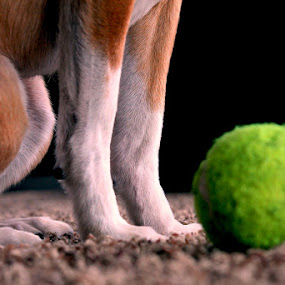 Anticipation. by Zachary Swears - Animals - Dogs Portraits