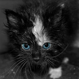 Blue Eyed Calico Baby by B Lynn - Animals - Cats Kittens