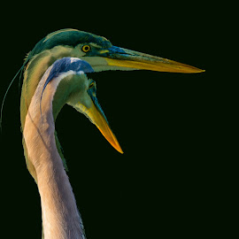 Great Blue Heron by Mike Parker - Digital Art Animals