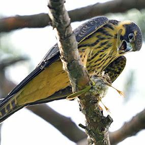 Eurasian Hobby by Young Sung Bae - Animals Birds