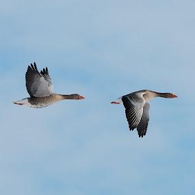 Up Goose Down by Henk Verheyen - Animals Birds ( gans, ganzen, geese, goose )