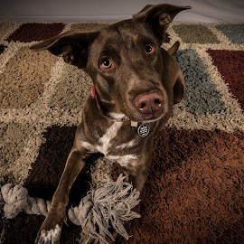 Play? by David Kobuszewski - Animals - Dogs Portraits ( studio, pet, play, carpet, puppy, dog, portrait, strobe, animal )