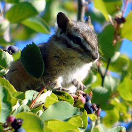 CHIPMUNK IN TREE TOP by Cynthia Dodd - Novices Only Wildlife ( animals, furry, chipmunk, eating, wildlife, cute, rodent, tree tops, berries )