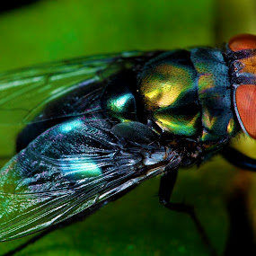 The housefly by Mohamad Sa'at Haji Mokim - Animals Insects & Spiders ( housefly, nature, wings, insect, flies )