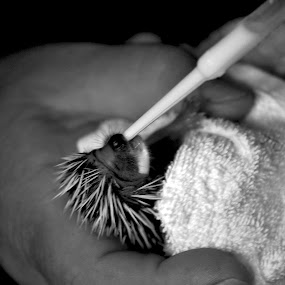 Feeding by Adrienn Liker - Animals Other Mammals ( hedgehog, milk, feeding, little, baby, cute, small )