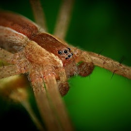 Spider  by Paul Mays - Animals Insects & Spiders