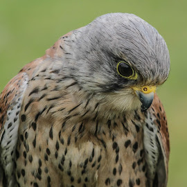 Something down there by Garry Chisholm - Animals Birds ( bird, garry chisholm, nature, wildlife, prey, raptor, kestrel )