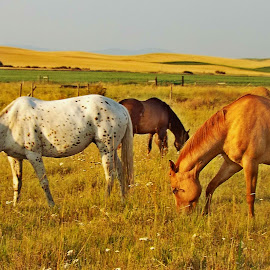 Grazing in the Twilight Hour by Darlene Neisess - Animals Horses ( pasture, grazing, horses, herd, horse, feeding, eating, gold, appaloosa, golden,  )