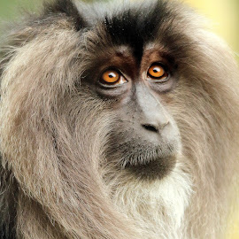 Long Haired Macaque by Ralph Harvey - Animals Other Mammals ( wildlife, ralph harvey, bristol zoo, monkey, animal )
