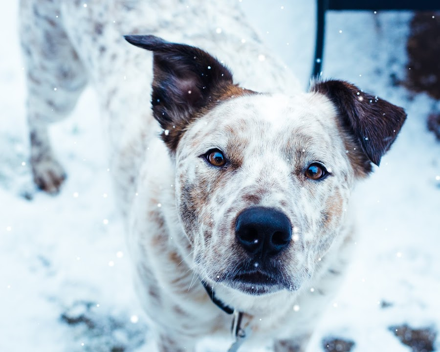 In the snow by Vix Paine - Animals - Dogs Portraits ( colour, collie, snow, snowy, puppy, blue tint, snow flakes, dog, nose, garden, eyes,  )