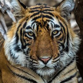 Tiger by Ganesh Namasivayam - Animals Lions, Tigers & Big Cats ( tiger cub, tiger, ranthambore tiger reserve, tiger portrait, t60's cubs )