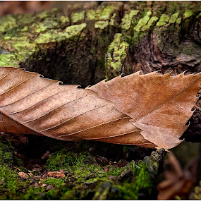 Fallen Leaf by Mark Shoesmith - Nature Up Close Leaves & Grasses ( fall leaves on ground, pwcfallleaves, london, autumn, fall, brown, woodland, leaf )