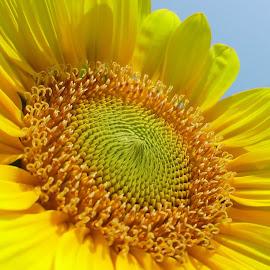 Sunflower by Ameer Shaik Basha - Flowers Flower Gardens ( sunflower, bloom, yellow, flower in garden, yellow flower, flower )