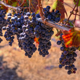Autumn is Coming- Just ask the Grapes by Jeanine Akers - Nature Up Close Gardens & Produce ( wine, sonoma county, purple, grapes, vineyards, healdsburg, nikond610, grapevines )