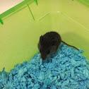 pygmy mouse ?