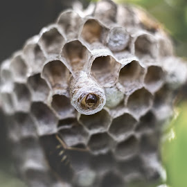 t h e | n e s t by Anupam Hatui - Nature Up Close Hives & Nests ( macro, wasp, nest, cocoon, close up )