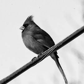 Cardinal in Black and White by Dennis Roscher - Black & White Animals ( bird, sitting, red bird, cardinal, black and white,  )