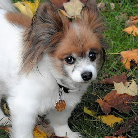 by Kathy Woods Booth - Animals - Dogs Playing ( playing, dogs, papillon, dog, leaves )