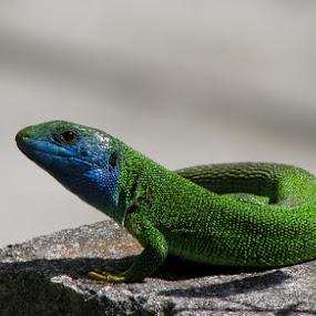 lizard by Lidija P - Animals Reptiles