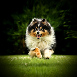 by Jane Bjerkli - Animals - Dogs Playing ( natural light, playful, jumping, joy, cute, pwc76, run, running, natural background, playing, adorable dogs, happy, shetland sheepdog, action, animals in motion, motion, animal, moving, animalia, pwc84, jump, joyful, animal kingdom, pet, dog, natural, sheltie )