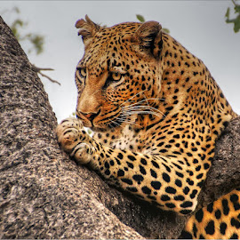 resting in tree by Leon Pelser - Animals Lions, Tigers & Big Cats ( monopod, f 6.3, iso 800, 1/640, daylight wb,  )