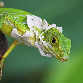 Molting Chameleon by Helnis Susanto Johannis - Animals Other