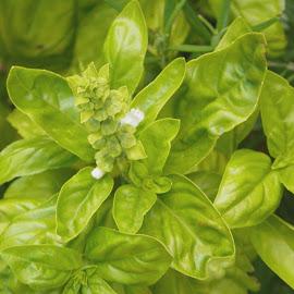 Basil Me by Sandy Stevens Krassinger - Food & Drink Ingredients ( plant, herb, spice, bloom, basil )