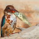 White-throated Kingfisher.