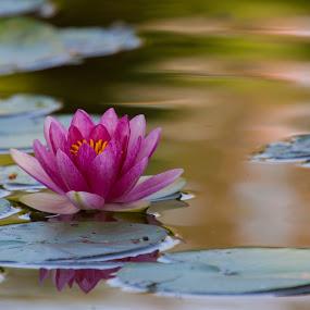 Water Lily by Sam De Block - Flowers Single Flower ( pink flower, single flower, blooms, lily pad, flower,  )