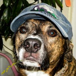 Hillbilly Dog by Brian Stout - Animals - Dogs Portraits ( labrador retriever, hillbilly, boxer, pet, brindle, dog, boxador )