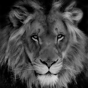 Lion Framed5 bw.JPG