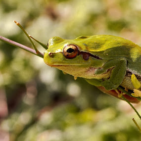 by Booba Booba - Animals Amphibians ( frog )