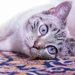 by Massimo Izzo - Animals - Cats Portraits ( kitten, cat, lyin, carpet, eyes )