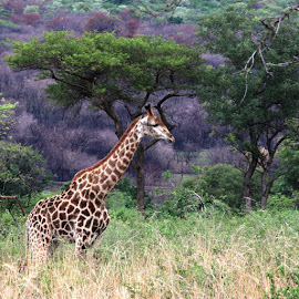 Giraffe by Lydia Schoeman - Animals Other