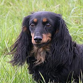 Annie by Chrissie Barrow - Animals - Dogs Portraits ( female, dachshund (miniature long haired), pet, ears, fur, dog, nose, tan, black, portrait, eyes )