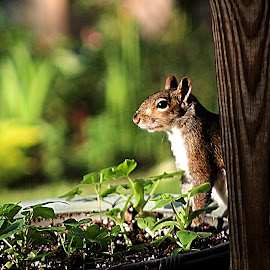 Hiding Out.... by Melanie Goins - Animals Other ( sneaky, hiding, summer, rodent, squirrel )