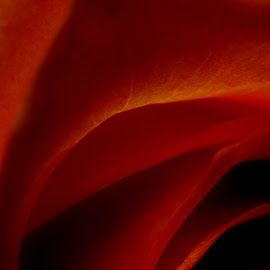 red passion by Oreana Tomassini - Abstract Macro ( rose, macro flower, red roses, emotive, flower )