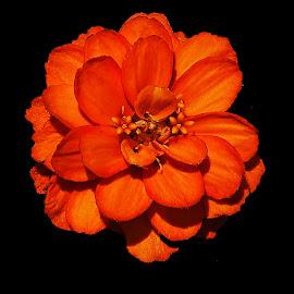 Orange Beauty by Dee Haun - Flowers Single Flower ( orange, flowers, single flower, zinnia, dark background )