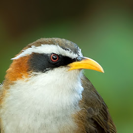 White browed scimitar babbler by Suraj Ramamurthy - Animals Birds ( #thailand, #changmai, #nikond4, #nikkor500mm, #babbler )