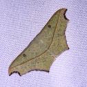 Cross-line Wave Moth