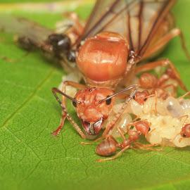 Queen Ants by Ade Setyawan - Novices Only Macro