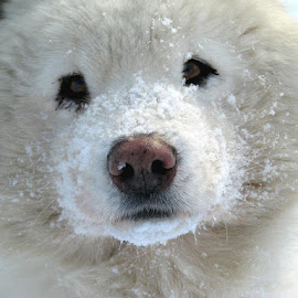Dog by Aleš Maučec - Animals - Dogs Portraits ( winter, snow, samoyed, dog, animal )