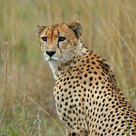 A Male Cheetah  by Anthony Goldman - Animals Lions, Tigers & Big Cats ( big cat, wild, cheetah, male, londolozi, pradator )