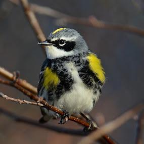 Yellow Rumped Warbler by Steven Liffmann - Animals Birds ( bird, yellow rumped warbler, yellow, closeup, warbler,  )